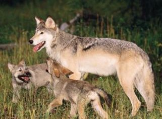 wolves in camp